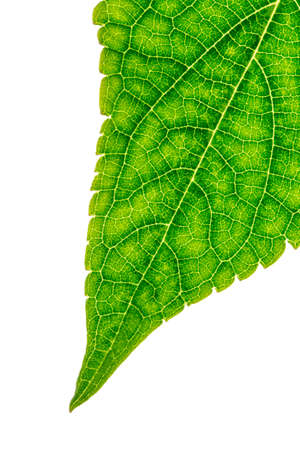 chlorophyll: Closeup of fresh green leaf with visible veins.