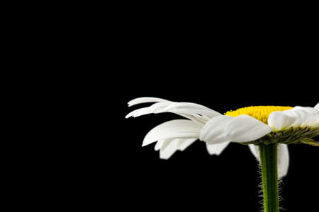 grieving: Daisy flower on black  Stock Photo