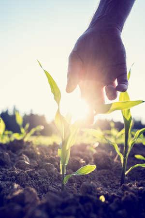 planta de maiz: Imagen de estilo retro de la mano masculina que llega hasta una planta de maíz que crece en un campo agrícola iluminado por una brillante explosión de la mañana la luz del sol con la flama del sol alrededor de la planta y de la mano.