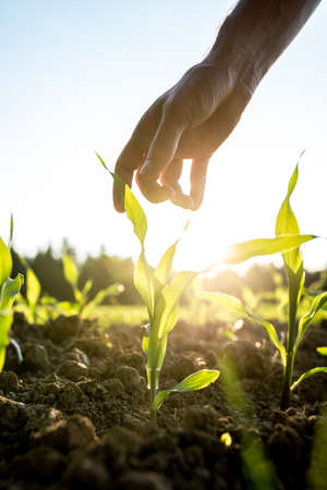 Male hand reaching down to a young maize plant growing in an agricultural field backlit by a bright early morning sunlight with sun flare around the plant and hand.