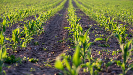 early summer: Corn field with young corn seedlings in early summer. Stock Photo