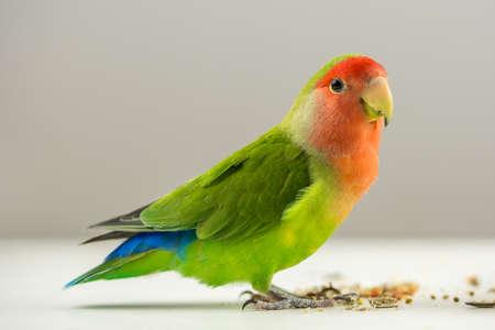 Mooie kleurrijke agapornis vogel op wit met zaden aan zijn voeten.