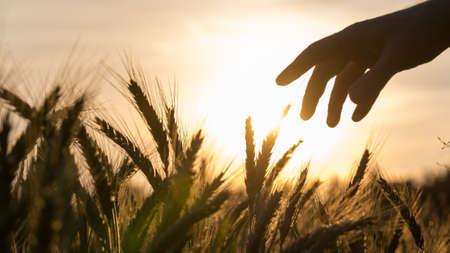 美しい夕暮れ時彼の作物の世話の彼の麦畑に触れる農家の手。