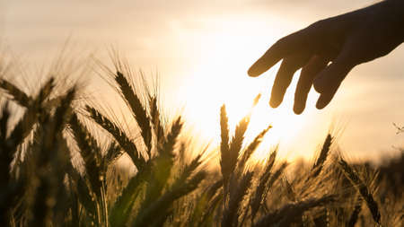 Hand of a farmer touching his wheat field caring for his crop at beautiful sunset.