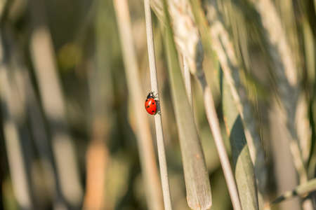 Red spotted ladybug or ladybird climbing up a grass stalk outdoors in the sunshine photo