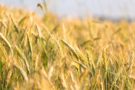 Closeup of beautiful ripening golden wheat field in early summer. photo