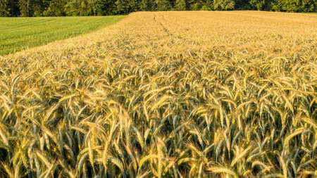Beautiful view of golden wheat field in early summer.  photo