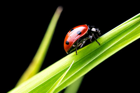 lady bug: Beautiful ladybug on green grass blade. Isolated over black background. Stock Photo