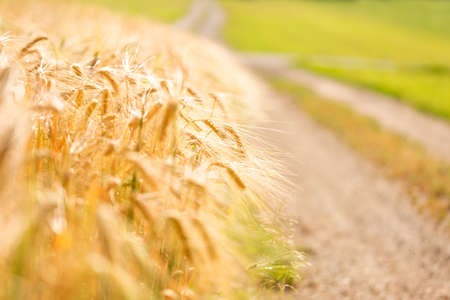 dof: Golden wheat field edge with country road. Shallow dof. Stock Photo