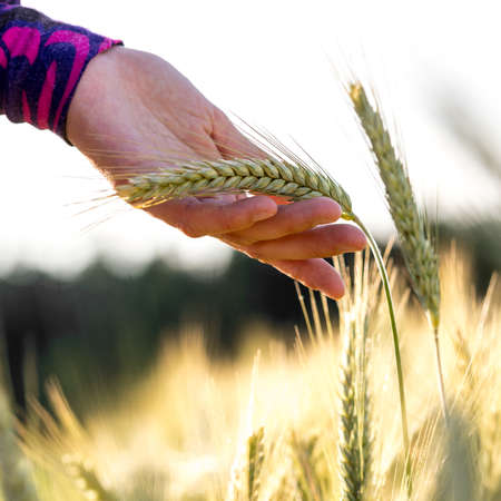 ripening: Woman holding a ripening ear of wheat gently in her hand displaying it to the camera in a summer wheat field. Stock Photo