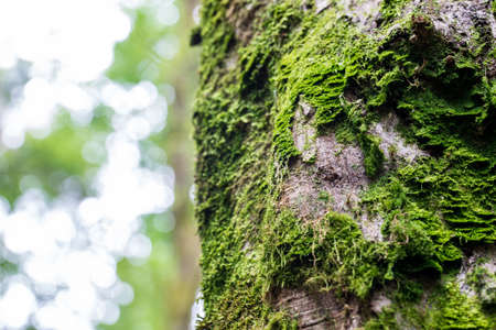 symbiotic: Fresh green moss growing on the bark of a tree trunk in a forest or woodland with a high key background for copyspace. Stock Photo