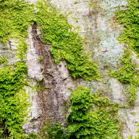 moos: Close up of fresh lush green moss growing on the bark of a tree with texture detail in square format.