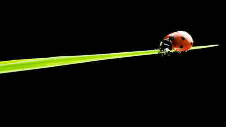 meaning: Impressive nature close-up of a small ladybug walking on a blade of green grass, with copy space on black.