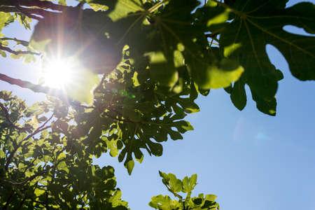 feigenbaum: Sonne durch die gr�nen Bl�tter eines Feigenbaum in einem hellen Sunburst konzeptionelle der Frische und Sch�nheit der Natur an einem klaren sonnigen Sommertag. Lizenzfreie Bilder