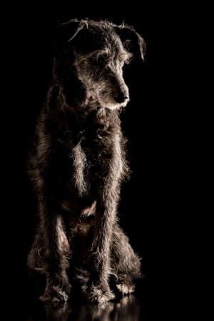 shadowy: Portrait of a grey wire haired terrier dog sitting looking off to the side against a dark shadowy background.