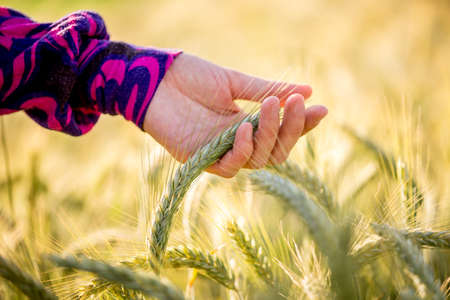 Young woman wearing a colourful purple blouse gently caressing a ripening ear of wheat in a bio, ecological or organic nature concept, closeup of her hand.