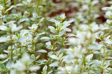 potherb: Antecedentes de tomillo fresco crece en un jard�n para su uso como hortaliza culinaria de temporada y el sabor salado de cocci�n.