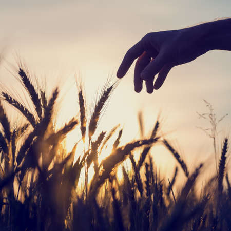 Silhouette of the hand of a man reaching out to touch ears of golden wheat growing in a field at sunrise or sunset in a conceptual image of nature, agriculture and the environment. photo