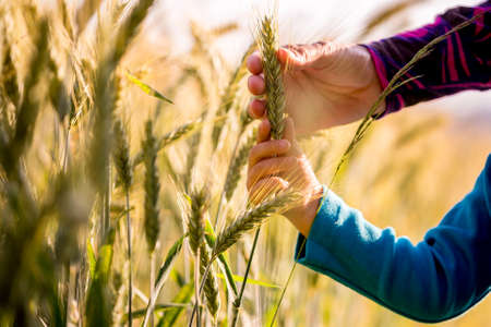 Child and woman holding a ripening ear of wheat growing in an agricultural field in a conceptual image, close up view of their arms and hands. Stock Photo
