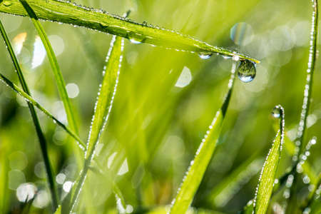 glistening: Blades of fresh green grass with glistening dewdrops or raindrops and a background bokeh of sparkling sunlight on moisture , nature, eco or bio background.