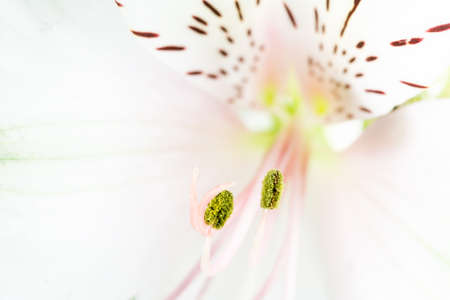 gynoecium: Close Up Detail of White and Pink Lily with Focus on Filaments.