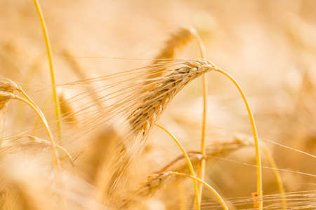 Ripe golden ear of wheat growing in an agricultural field with shallow dof in a nature and food resources concept. photo