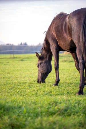 Brown horse grazing in a lush green meadow or pasture viewed side on from behind with copyspace on a sunny day. photo