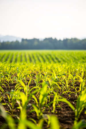 Field of young fresh green maize or corn plants backlit by the sun with shallow dof stretching into the distance. photo