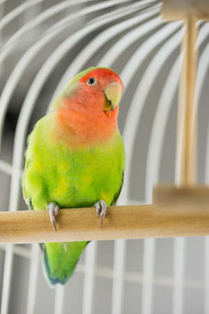 Rosy Faced Lovebird in a cage looking down at the camera. Imagens