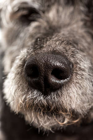 nostrils: Close up of the wet nose of a dog showing the nostrils and texture of a pet.
