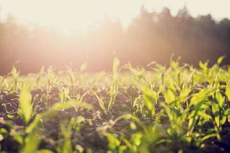 Field of young green maize or corn plants backlit by the sun with a vintage style filter effect. Archivio Fotografico