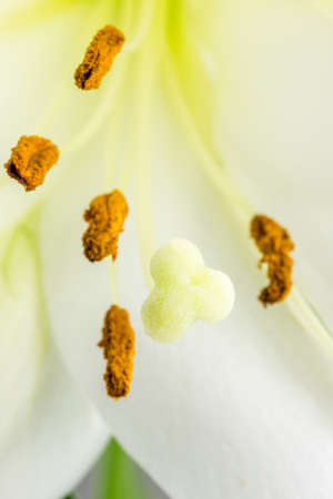 gynoecium: Macro close up of the pollen coated anthers, pistil ,stigma and style of a delicate white day lily flower. Stock Photo