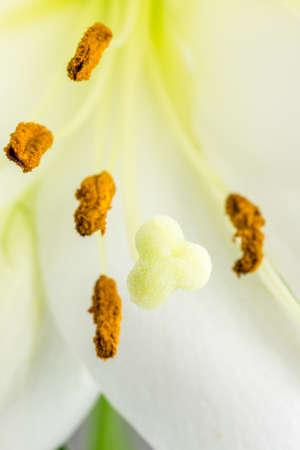 stigmate: Macro gros plan du pollen des anth�res enduits, pistil, la stigmatisation et le style d'un jour blanc fleur de lys d�licat. Banque d'images