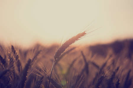 Retro vintage style image of a wheat field at sunrise with ears of ripening wheat back lit by the sun with copyspace over the sky in an agricultural and nature background concept. Stock Photo