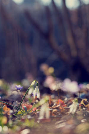 changing seasons: Retro image of first spring flowers with a low angle view of daint fresh white snowdrops symbolising the changing seasons in the garden with shallow dof and copyspace. Stock Photo