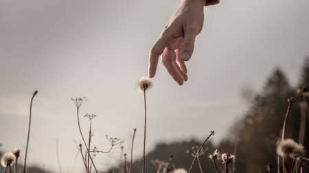 back lighting: Man stretching down his hand and gently touching a delicate dandelion clock on a misty grey day with sunlight back lighting his hand, conceptual image. Stock Photo