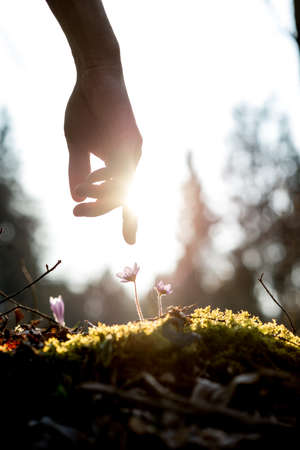 sun lit: Conceptual image with a close up of the hand of a man above a mossy rock with new delicate blue flowers back lit by the sun in a spring garden.