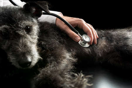 Vet examining a dog with a stethoscope listening to its heartbeat and lungs for possible murmurs. Stockfoto