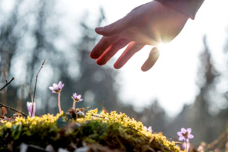 Hand of a man above a mossy rock with new delicate blue flower back lit by the sun. Concept of human caring and protecting for nature.