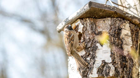 song bird: Wild Song Bird Perched at Opening of Rustic Bird House Made from Birch Tree Stump with Copy Space. Stock Photo