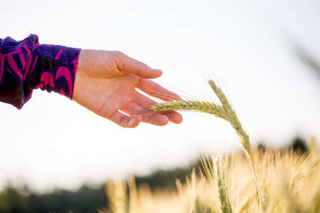 Close up Woman Bare Hand Holding Healthy Wheat Plant at the Farm on a Sunny Climate.