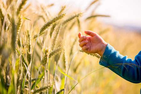 早朝概念イメージで光輝くフィールドにおける登熟小麦の若い耳に触れないように手を差し伸べる子。 写真素材