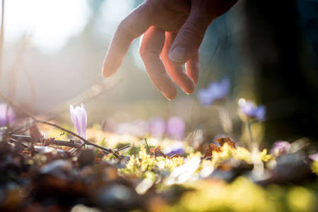 preservation: Conceptual image with a close up of the hand of a man above a new delicate blue flowers in a shaft of sunlight in a spring garden. Stock Photo