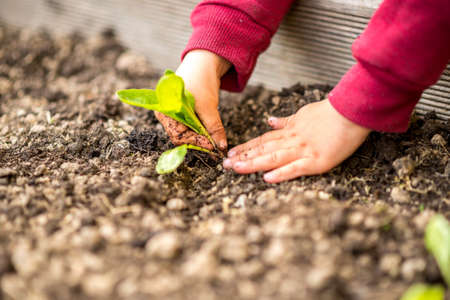 horticulture: Hands transplanting a young green seedling into fertile soil in a spring, gardening and horticulture, or agricultural concept.