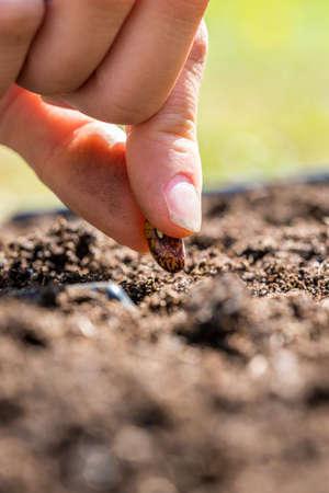 siembra: Primer plano de los dedos de una persona plantar una semilla en la tierra conceptual de la primavera y la temporada de la germinación y el crecimiento de nuevo.