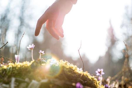 La mano de un hombre por encima de una flor azul de nuevo iluminado por el sol en un jardín, para los conceptos de negocio, vida y espiritualidad.