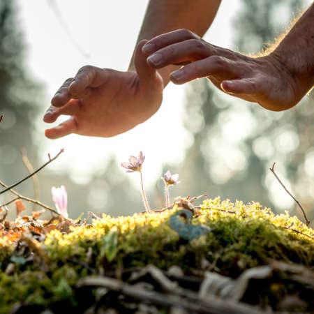 Conceptueel beeld van mannelijke handen maken van een beschermend gebaar over een kleine lentebloemen in het bos verlicht met een prachtige avondzon. Stockfoto