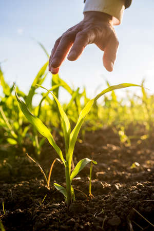 agricultural life: Businessman holding his hand above a young maize plant growing in an agricultural field backlit by the warm glow of the morning sun.