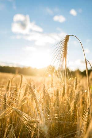 青空と雲の下にある太陽に照らされた農業分野における小麦の黄金の耳の低角度のビューをテキストに閉じる。 写真素材