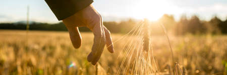 plenty: Businessman reaching down with his finger and gently touching an ear of ripe golden wheat in a field wheat at sunrise backlit by the golden sun, closeup of his hand. Stock Photo